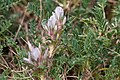 Astragalus sempervirens-4680 - Flickr - Ragnhild & Neil Crawford.jpg