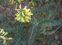 Astragalustrichopodus.jpg
