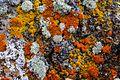 At the Dewdrop trail viewpoint…colorful lichens (8467194826).jpg
