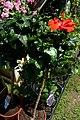 Atlas roslin pl Ketmia róża chińska 10668 9273.jpg