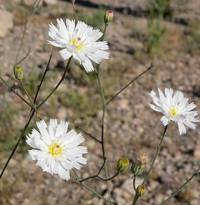 Description de l'image Atrichoseris platyphylla 8.jpg.