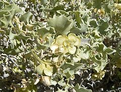 Desert Holly (Atriplex hymenelytra) leaves and bracts