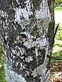 Atuna racemosa subsp racemosa - Bark - Kahanu Gardens.jpg