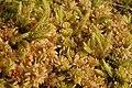 Aulacomnium.palustre.2.jpg