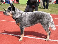 Australian Cattle Dog 22.04.2012 5pl.jpg