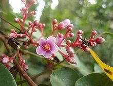 220px-Averrhoa_carambola_flower.jpg
