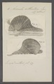 Avicula atlantica - - Print - Iconographia Zoologica - Special Collections University of Amsterdam - UBAINV0274 075 10 0007.tif