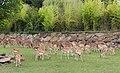 Axis deer and blackbucks in ZooParc de Beauval - 452.jpg