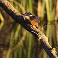 Azure Kingfisher 1 (15079038069).jpg