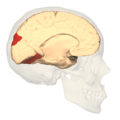 BA19 - Visual association cortex (V3) - medial view.png