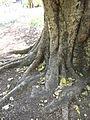 BCBG Ficus Religiosa 02.JPG