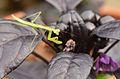 Baby mantis. (7342230026).jpg