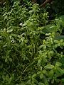 Bacopa monnieri BotGardBln07122011B.JPG