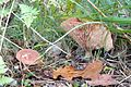 Bagno Chlebowo, fungi (12).JPG