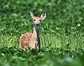 Bambi (44002419711).jpg