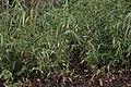 Bamboo (25887062648).jpg