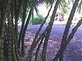 Bambou sacré.jpg