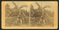 Banana plant, Florida, from Robert N. Dennis collection of stereoscopic views.png