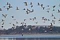 Banded Stilts and Red-necked Avocets (25028139326).jpg