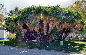 Yucca gigantea - Image: Barcelona 354