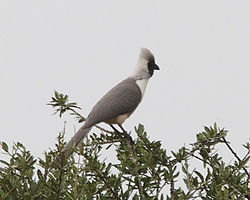 Bare-faced Go-away-bird (Corythaixoides personatus) 2.jpg