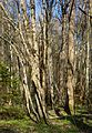 Bare tree trunks in Gullmarsskogen.jpg