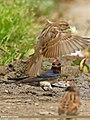 Barn Swallow (Hirundo rustica) (27779371711).jpg