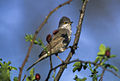 Barred Warbler - Hortobagy - Hungary 282 (18677066453).jpg