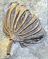 Batocrinidae - Eretmocrinus.JPG