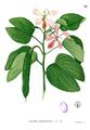Bauhinia subrotundifolia Blanco1.82.png