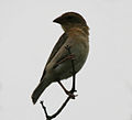 Baya Weaver (Ploceus philippinus) W IMG 9456.jpg