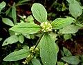 Beauty of Rubiaceae.jpg