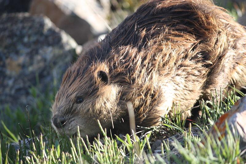 beaver bóbr