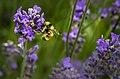 Bee on lavender (Unsplash).jpg