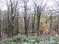 Beech woodland by Stocking Lane - geograph.org.uk - 627177.jpg