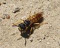 Beewolf. Philanthus triangulum . female (31852899940).jpg