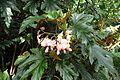 Begonia 'Sophie Cécile' kz1.jpg