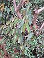 Begonia maculata Madagascar-04.jpg