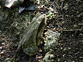 Belize Frog Anura Laslovarga.JPG