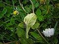 Bellis perennis Entyloma bellidis (01).JPG