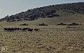 Berber goats prevent regeneration of pine forest. (23903054178).jpg