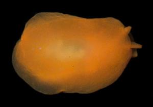 Berthellina quadridens - Dorsal view of Berthellina quadridens