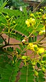 Biancaea sappan flower bunch.jpg