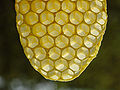 Bienenwabe Naturbau durchscheinend.jpg