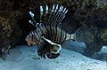 Big Lion fish in the Red Sea.jpg
