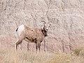 Bighorn Sheep, Badlands National Park 10 11 17 -badlandsnps -southdakota -wildlife (39870887895).jpg