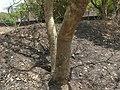 Bili Beete (Kannada- ಬಿಳಿ ಬಿಟೆ) (2427111853).jpg