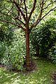 Birch bark cherry Prunus serrula at Boreham, Essex, England.jpg