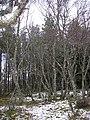 Birch woods, Ralia - geograph.org.uk - 680889.jpg