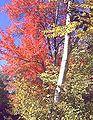 Birchandmaple.jpg